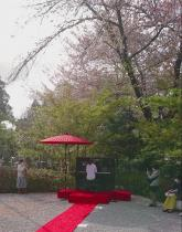 桜吹雪の中のPiano